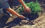 Удобрение для хвойных деревьев